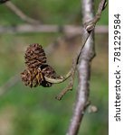Small photo of Mature cones on branch Black alder or Alnus glutinosa close-up, selective focus, shallow DOF
