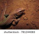 whiptail cerrado lizard   Shutterstock . vector #781244083