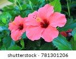 tropical hawaiian pink hibiscus   Shutterstock . vector #781301206