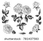 a sketch of a rose bush. an... | Shutterstock .eps vector #781437583
