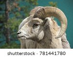 Roccky Mountain Bighorn Sheep ...