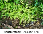 Small photo of Fern Leaves on the ground, Adiantum concinnum