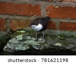 white throated dipper by a river | Shutterstock . vector #781621198