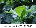 Green Ficus Pandurata Fiddle...