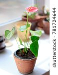 Anthurium Plat In A Flower Pot...