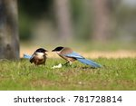 The Azure Winged Magpie ...