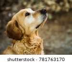 beautiful golden retriever... | Shutterstock . vector #781763170