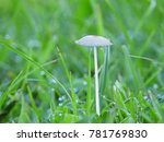 white mushrooms in the lawn. | Shutterstock . vector #781769830