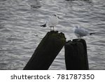 Two Seagulls Standing On Logs...