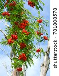 Small photo of branch red ash, strewn with bunches of ripe berries