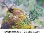 beautiful bonsai tree in the...   Shutterstock . vector #781818634