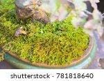 beautiful bonsai tree in the...   Shutterstock . vector #781818640