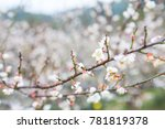 close up of the blooming branch ...   Shutterstock . vector #781819378