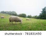 herd of sheep on green pasture. ...   Shutterstock . vector #781831450