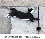 Stock photo a black and white cat stretching on a sidewalk top down view 781882639