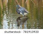 Tricolored Heron  Egretta...