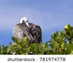 brown pelican  pelecanus...   Shutterstock . vector #781974778