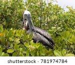 brown pelican  pelecanus...   Shutterstock . vector #781974784