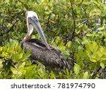 brown pelican  pelecanus...   Shutterstock . vector #781974790