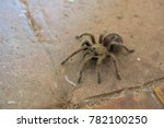 Small photo of Detail of spider Theraphosidae on the tile floor