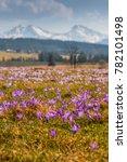 crocuses in tatra mountains in... | Shutterstock . vector #782101498
