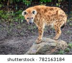 Small photo of Spotted hyena (Crocuta crocuta), also known as the laughing hyena.
