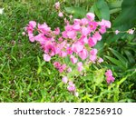 pink coral vine flowers and... | Shutterstock . vector #782256910