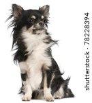 Chihuahua  5 Years Old  Sittin...