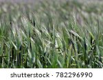 wheat field in windy weather | Shutterstock . vector #782296990