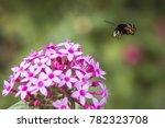 Small photo of The Blue-banded bee (Amegilla cingulata)