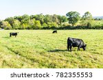 Black Cows Grazing On Pasture...
