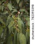 eucalyptus tree branch close up  | Shutterstock . vector #782393398