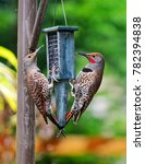 Red Shafted Northern Flickers