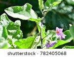 Solanum Xanthocarpum  Yellow...