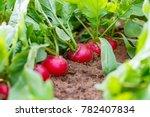 Radish plant in sandy soil ...