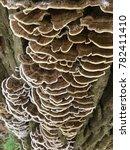 Small photo of Shelf fungi mushrooms