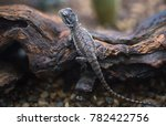 bearded dragon  pogona... | Shutterstock . vector #782422756