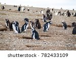 colony of magellanic penguins ... | Shutterstock . vector #782433109