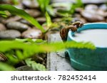 Small photo of Two snails are drinking a bowl of milk in the garden. (Hemiplecta Distincta)