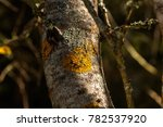 the lichen growing on a tree... | Shutterstock . vector #782537920