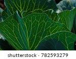 growing cabbage farm field  ... | Shutterstock . vector #782593279