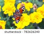 european peacock  aglais io ... | Shutterstock . vector #782626240