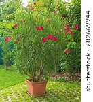 nice red oleander plant in the... | Shutterstock . vector #782669944