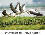 bar headed goose taking off.... | Shutterstock . vector #782672854