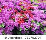 bunch of colorful azaleas in...   Shutterstock . vector #782702704