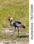 Small photo of Crone crane on shore. Tanzania, Africa