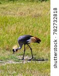 Small photo of Crone crane eating on the shore. Tanzania, Africa