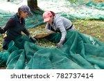 olive picking during harvesting ... | Shutterstock . vector #782737414