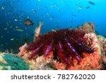 crown of thorns starfish | Shutterstock . vector #782762020