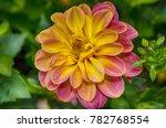 beautiful pink blooming dahlia... | Shutterstock . vector #782768554